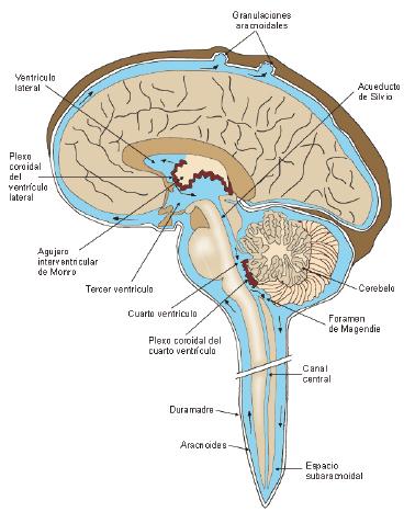 El hipotálamo y la glándula pituitaria pueden activar la erección de la penélope cruz.